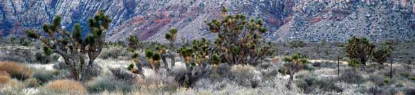 Joshua Tree in Red Rock Canyon