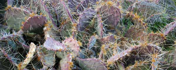Mountain Prickly Pear Cactus