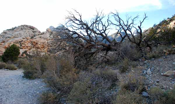 Leafless tree and underbrush at Red Rock Canyon