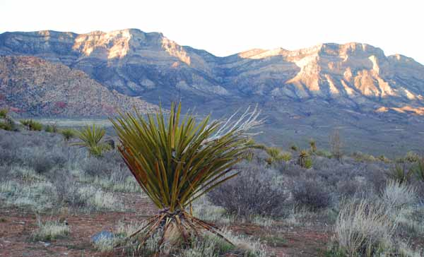 Yucca plant at Red Rock Canyon