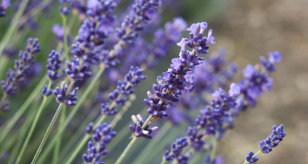 lavendar-detail